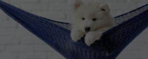 dog grooming business samoyed on a hammock