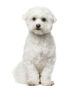 Teddy Bear cut for common dog haircuts on Maltese