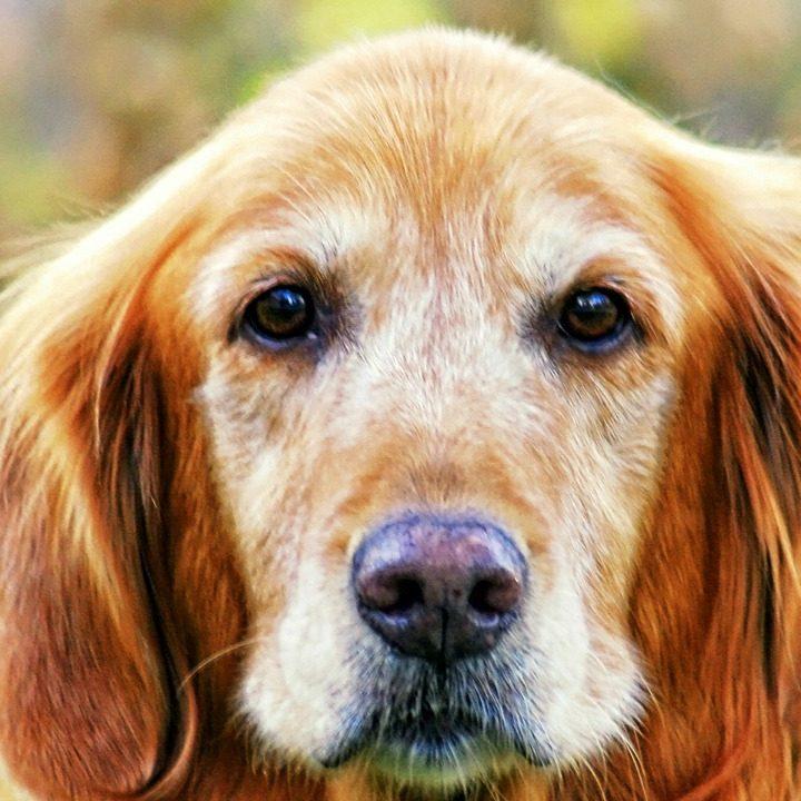 groom an older dog