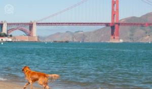 san francisco golden gate bridge facing beach with golden retriever walking