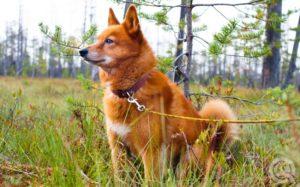 Grooming European dog breeds