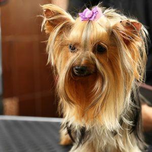 Starting a career in pet grooming