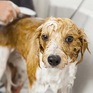 professional dog groomer bathing a dog in a tub