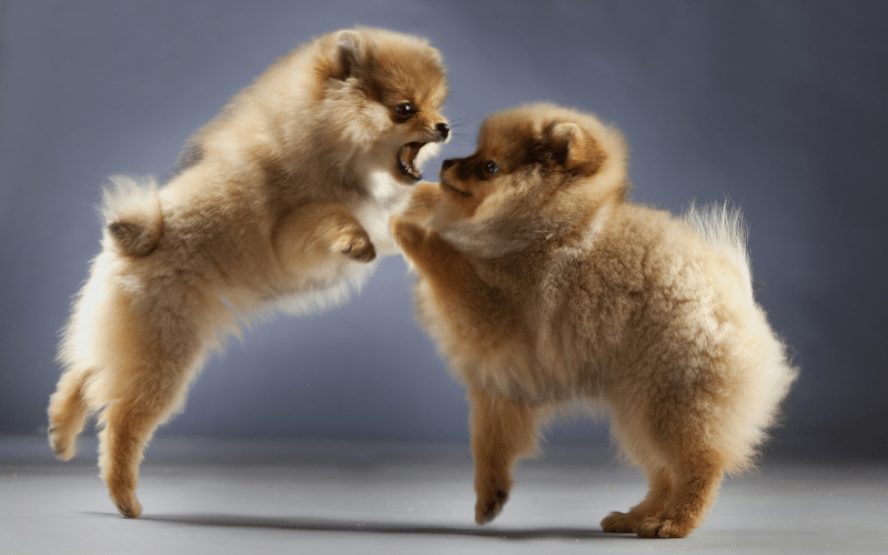 two pomeranians fighting