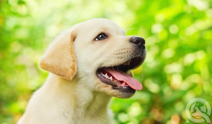 purebreed breed standards
