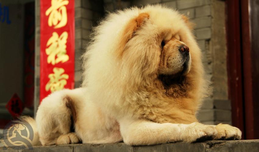 Lion S Mane Haircut Dog