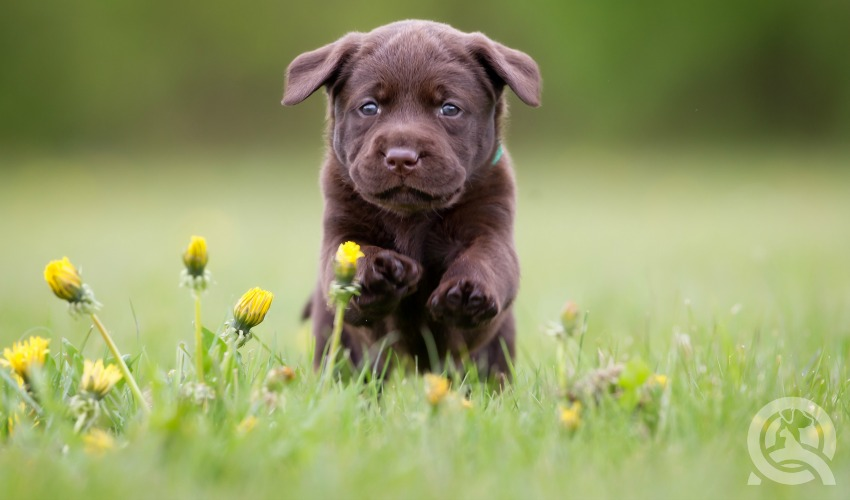 chocolate lab puppy running through meadow