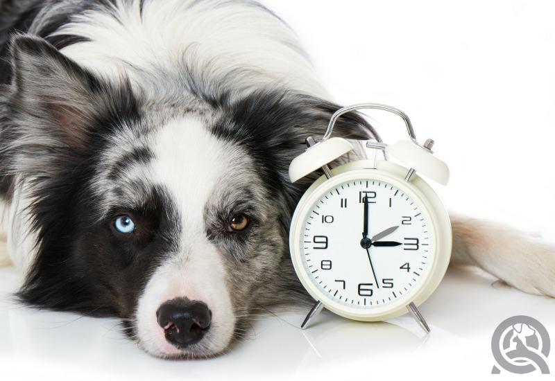 dog with alarm clock
