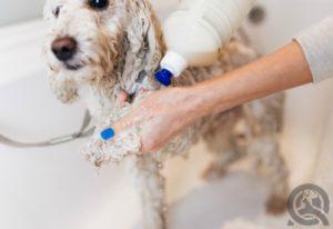 shampooing dog