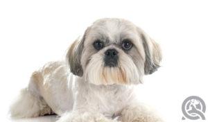 Shih Tzu groomed cute