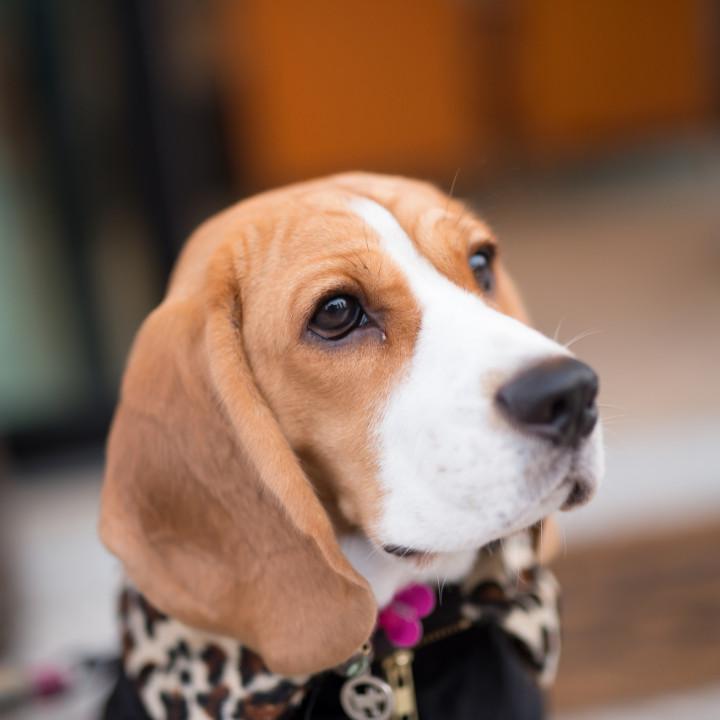 beagle dog grooming kit after groom