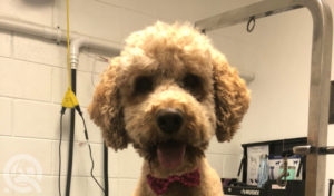 casey bechard is a professional groomer who graduated with her dog grooming certification from qc pet studies