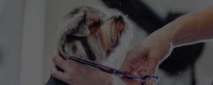 dog grooming school student grooming yorkshire terrier