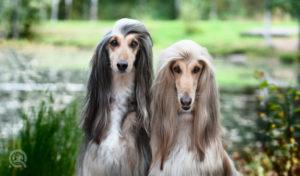 afghan hounds freshly pet groomer and dog grooming