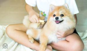 dog grooming equipment brush on pomeranian