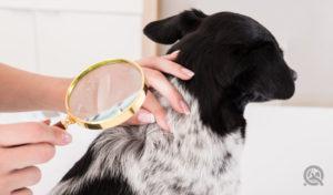 checking through dog fur by dog groomer