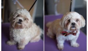 pet grooming school online student Katie Harris dog grooms