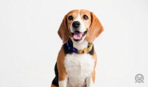beagle dog portrait for professional dog groomer portfolio to get dog groomer jobs
