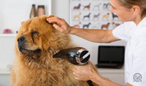 dog grooming course drying big dog
