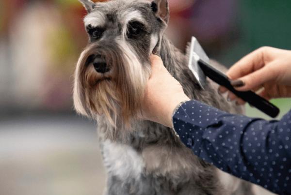 professional pet groomer brushing standard schnauzer