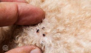 finding fleas in dog fur