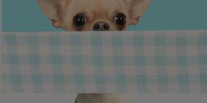 chihuahua peeking at camera with dark overlay