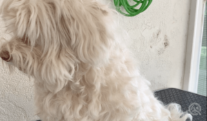 scruffy, long haired dog before hair cut