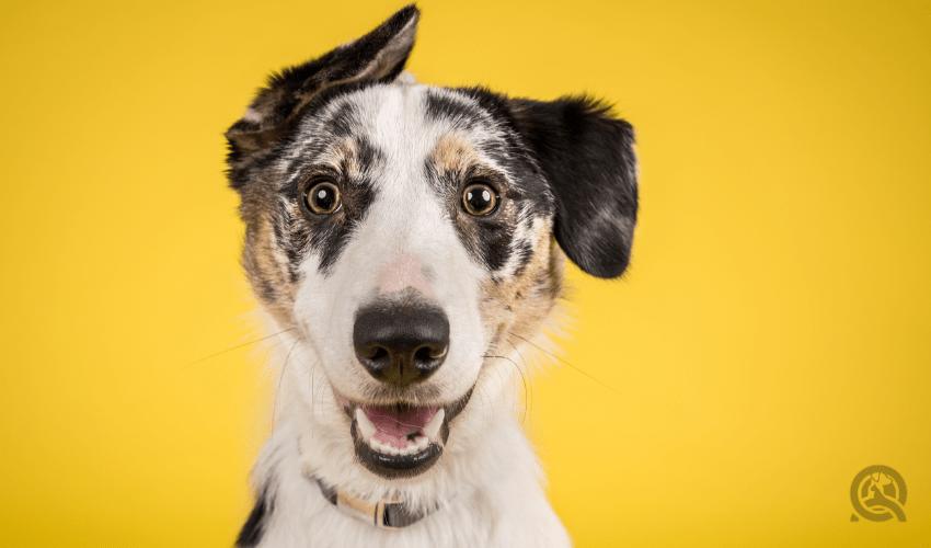 happy dog portrait with yellow background