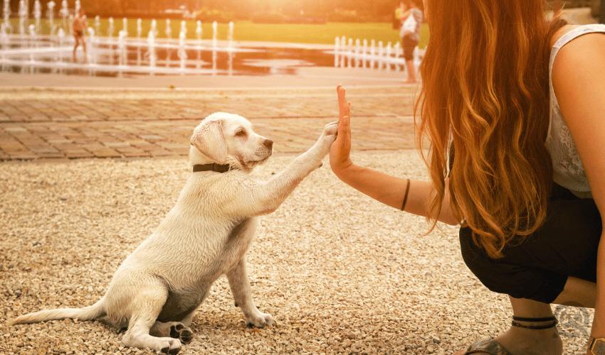 girl high-fiving golden lab puppy