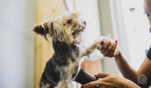 dog groomer holding dog's paw while shaving its stomach