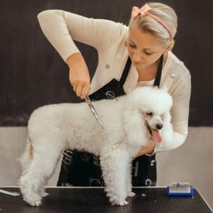 dog grooming career woman giving poodle a haircut
