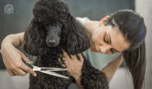 groom a poodle female groomer trimming black poodle's coat