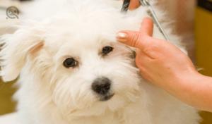 white dog getting haircut