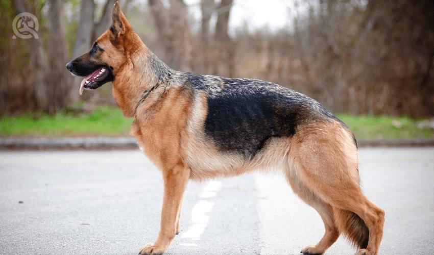 side profile of German Shepherd dog