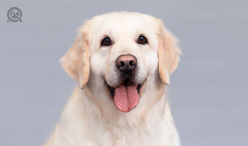 Happy golden retriever portrait