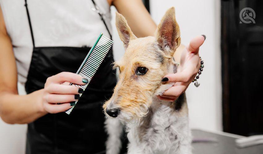 Groomer brushing dog with Greyhound comb