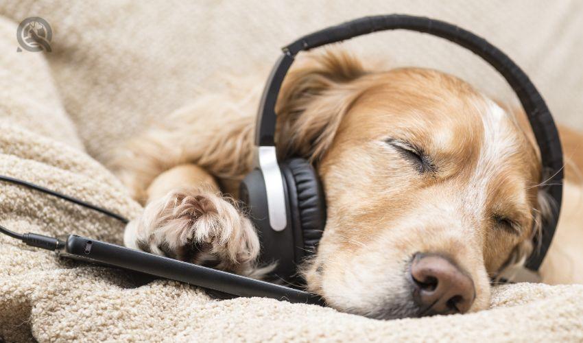 Relaxed, sleeping dog listening to music through headphones