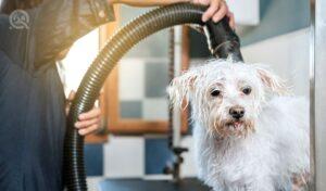 A dog groomer dries a bichon maltese dog with a hair dryer.