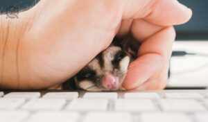 Curious Sugar Glider pet on keyboard with hand grabing.